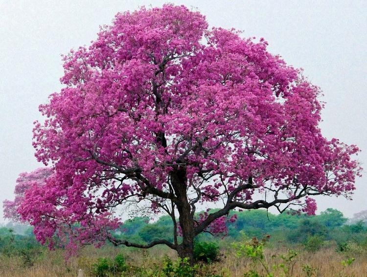 pau-darco-tree.jpeg
