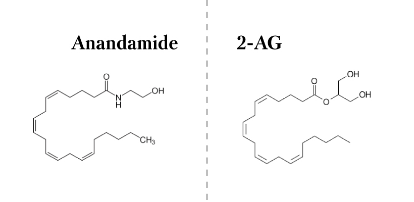 Endocannabinoids-anandamide-2-ag.jpg