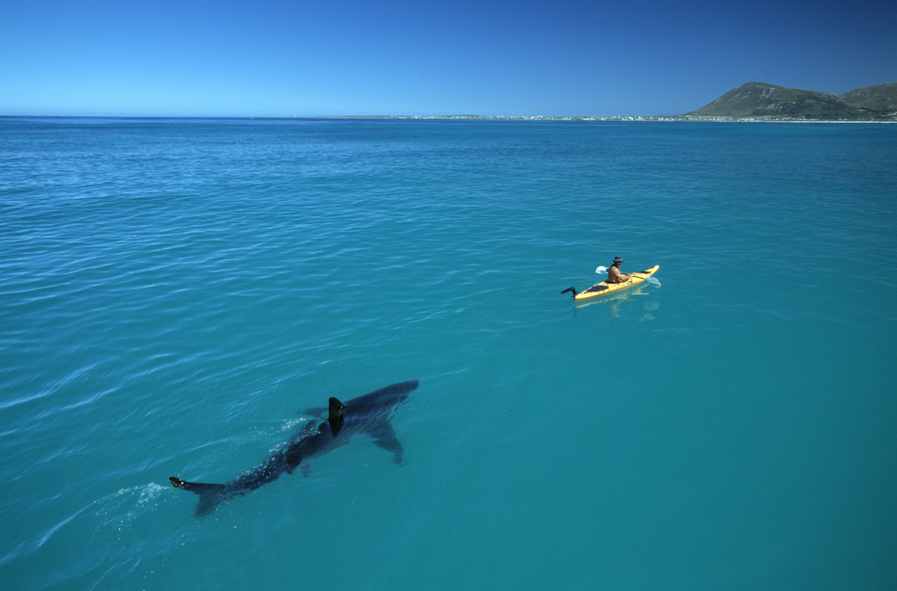 White Shark Kayak  140 MB Scan b©Thomas P. Peschak.jpg