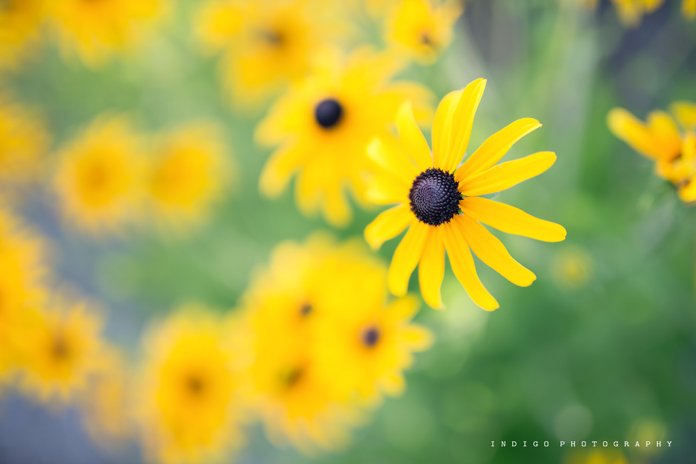black-eyed-susan-flowers