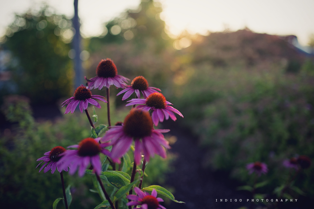 purple-wildflowers