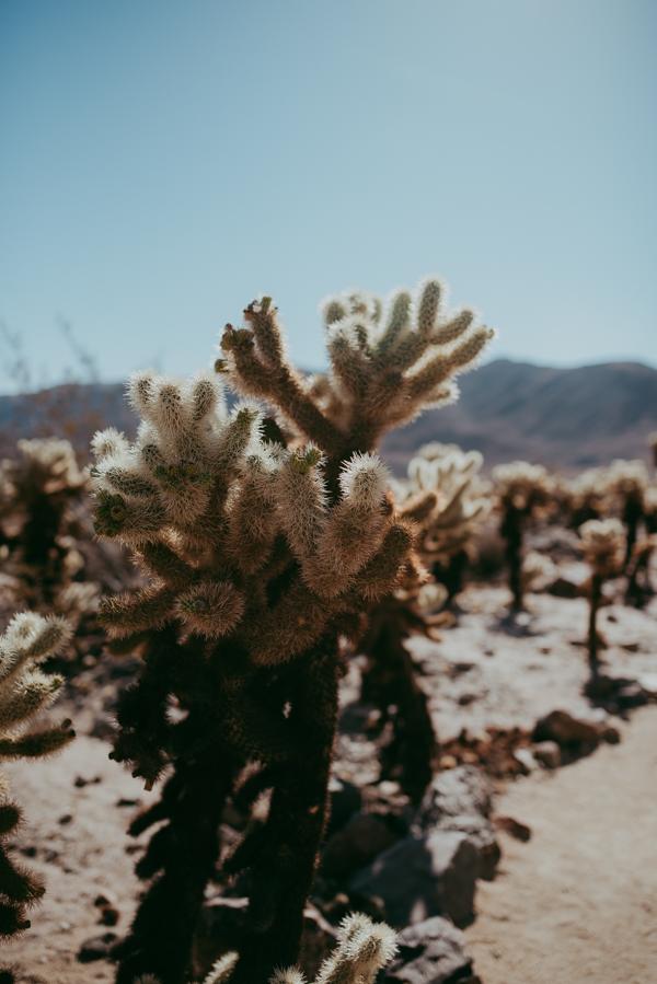 cholla-cactus-garden-joshua-tree-park.JPG