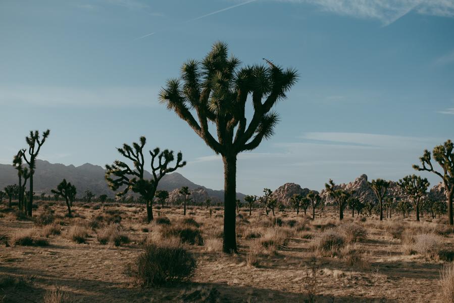 cholla-cactus-garden-joshua-tree-park-1-3.jpg