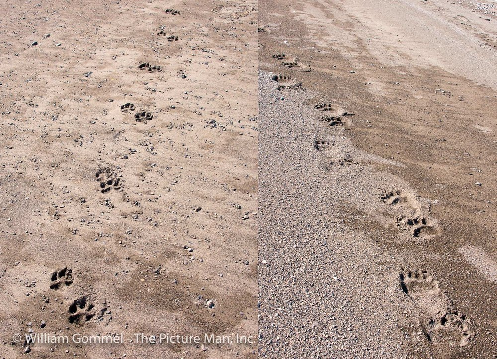 I wish I had something to put besides these tracks to give them scale as they were huge.  The wolf was about the size of my fist with just the ends of the fingers bent over.  The bear was probably the size of my size 10 boot.  The guide said that this wolf had to be big as he was sinking into the sand so deep.