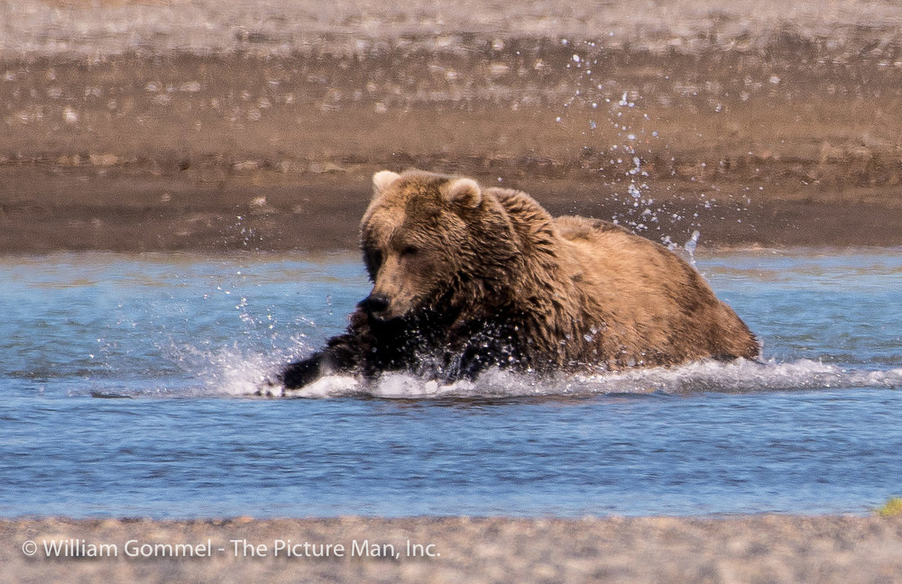 After a quick chase, she would pounce like a cat on the fish.  It was amazing to see such a large animal be so agile and quick.  I realized that if one was ever chasing me I was toast as there is no way one could ever outrun a bear.