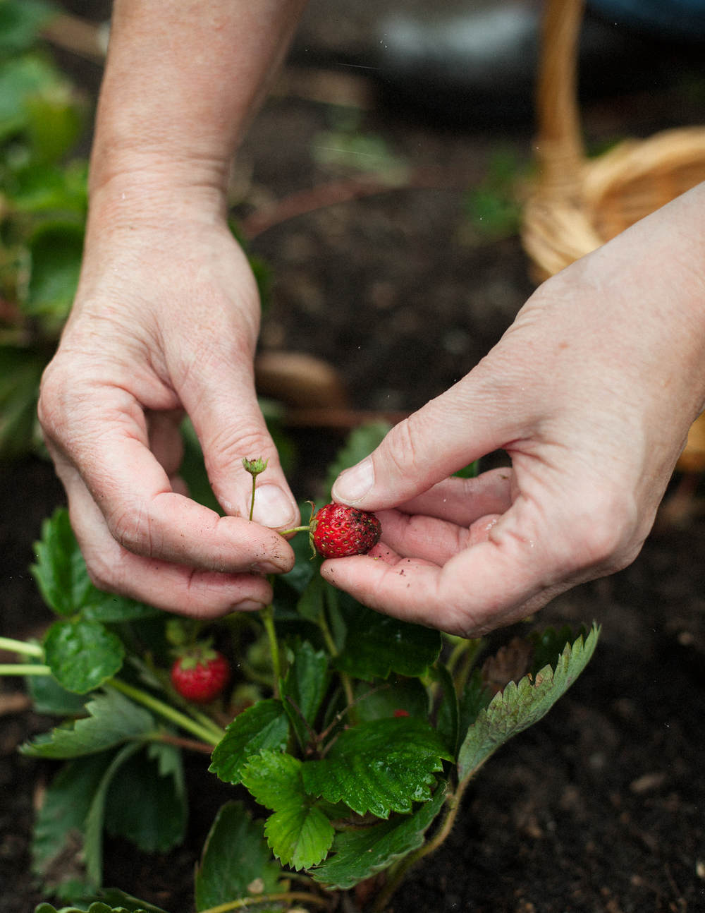 strawberry_picking.jpg