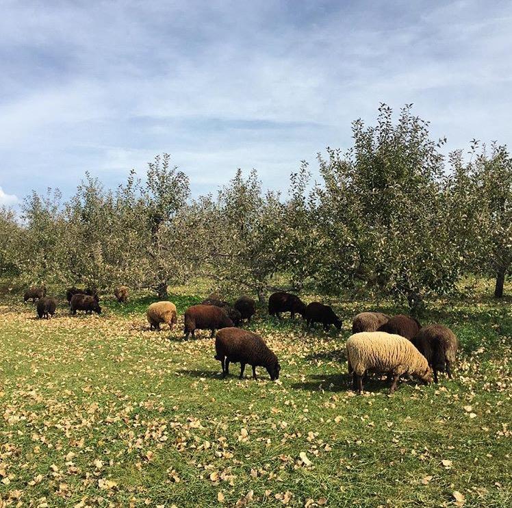 & Sheep \u2014 Door Creek Orchard Pezcame.Com