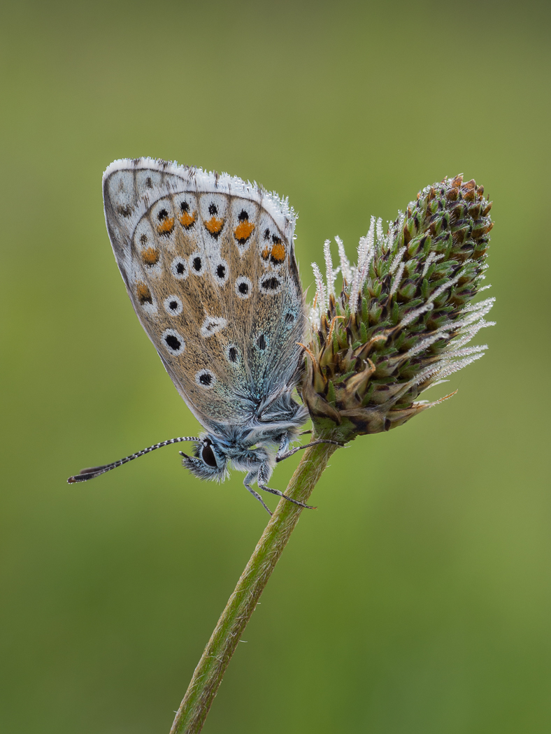 Adonis Blue Early Morning