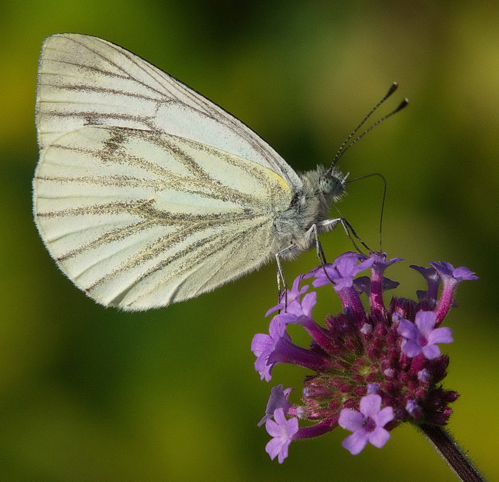 Green Veined White by Roger Kent