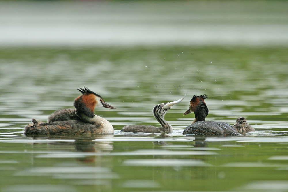 'Grebes Feeding' by Tony O'Reilly