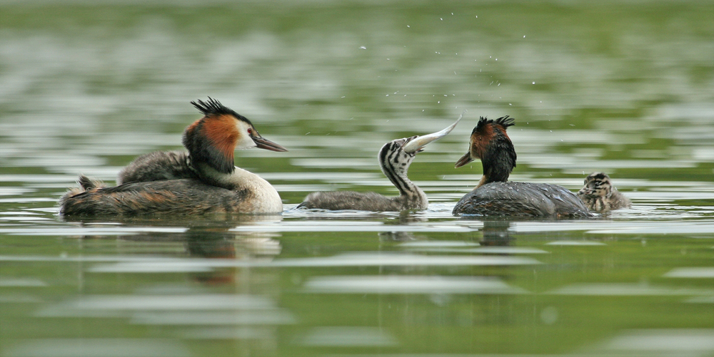 'Grebe Feeding' Tony O'Reilly