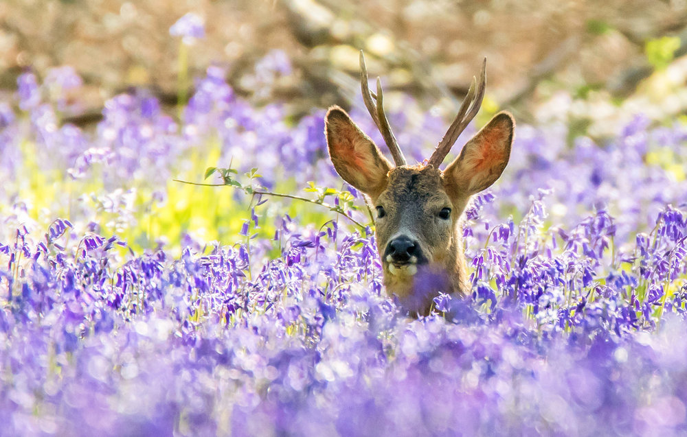 Deer in Bluebells' by Martin Cook