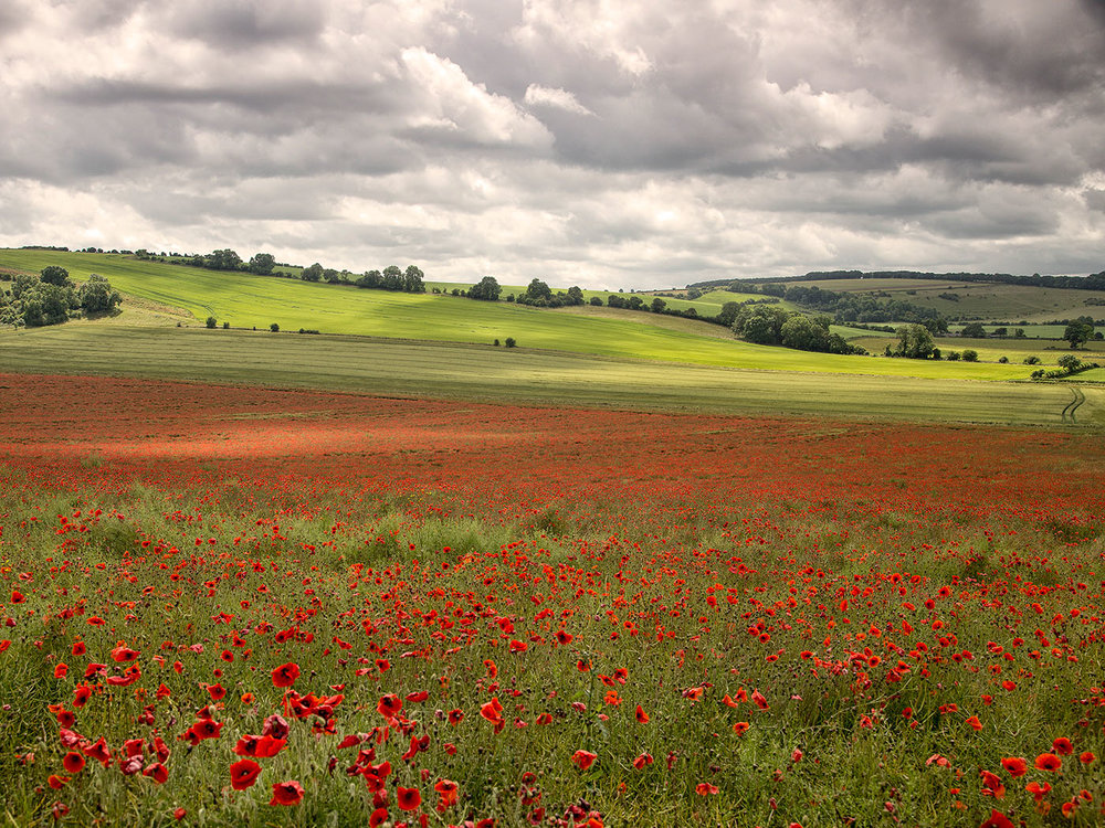 Poppyscape' by Tony Oliver