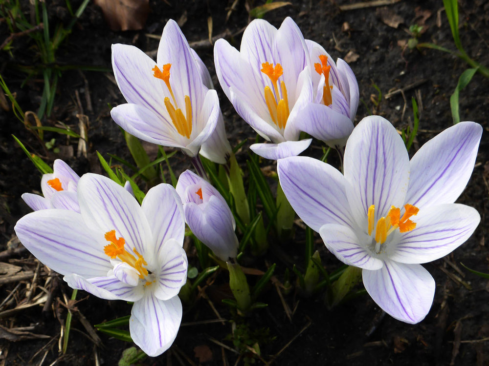 'Crocus' by Richard Temlett