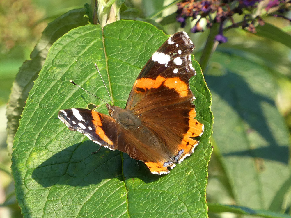 'Red Admiral' by Richard Temlett