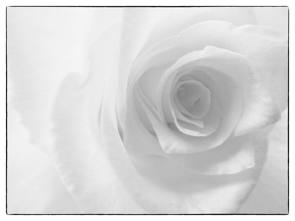 First 'White Rose' by Linda Oliver