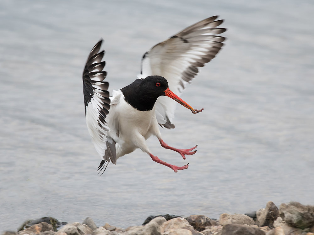 'Oyster Catcher' by Mark Cooper