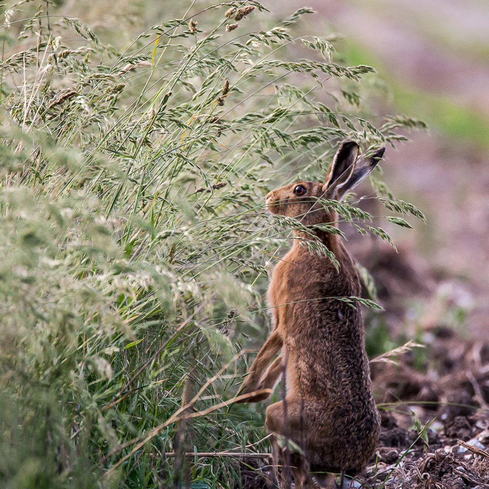 'Alert Hare' by Martin Cook
