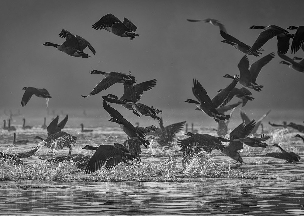 02_Canada Geese Takeoff Langford Lakes_Mark Cooper