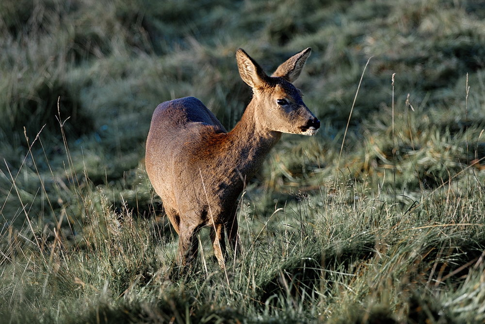 04_Roe Deer female_Roger Kent