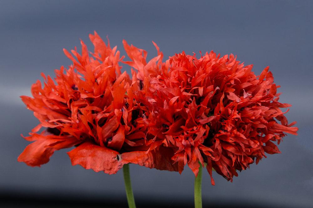 13_Red Frilly Poppy_Rob Tarlton