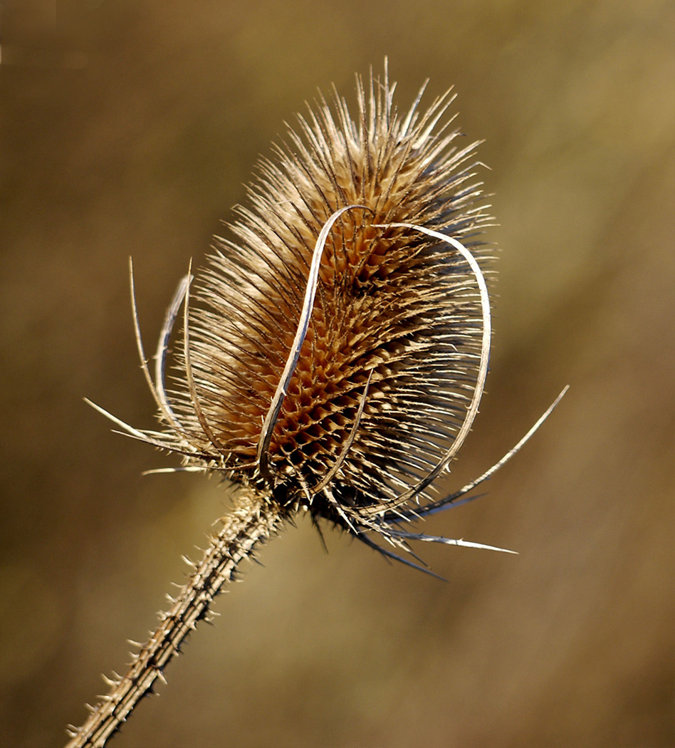 37_Winter Teasel_Graham Chubb