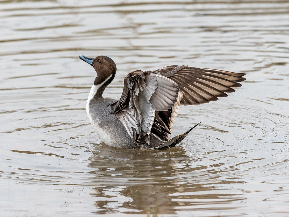 First ' Pintail Duck' by Mark Cooper