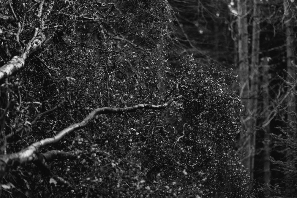Barry Forshaw // Engagement shoot scouting at Chopwell Woods // A fallen tree (black and white)