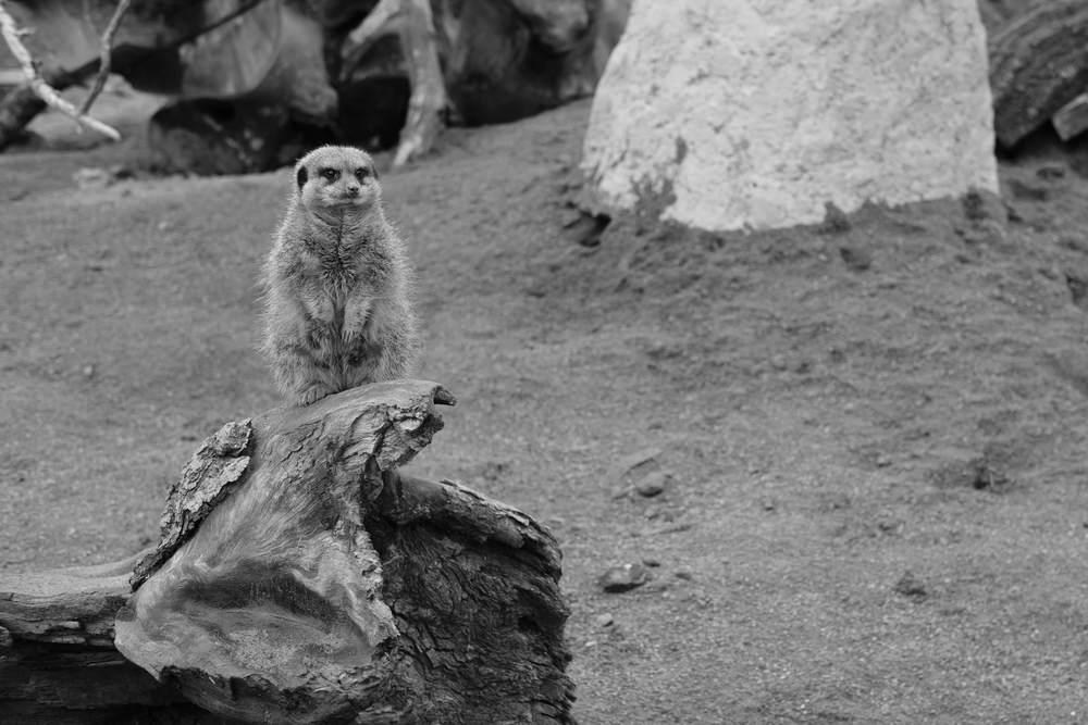 Black & White Meerkat at Eshottheugh Animal Park, Northumberland