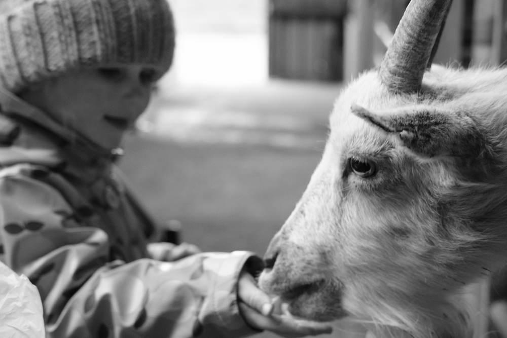 Black & White Audrey feeding goat at Eshottheugh Animal Park, Northumberland