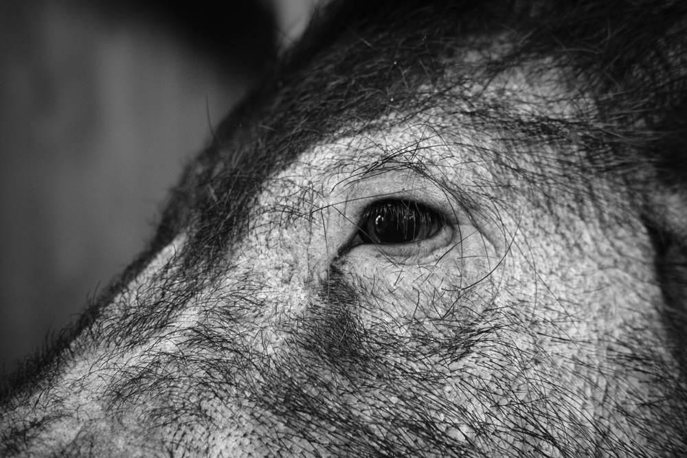 Black & White close up of pig's eye at Eshottheugh Animal Park, Northumberland