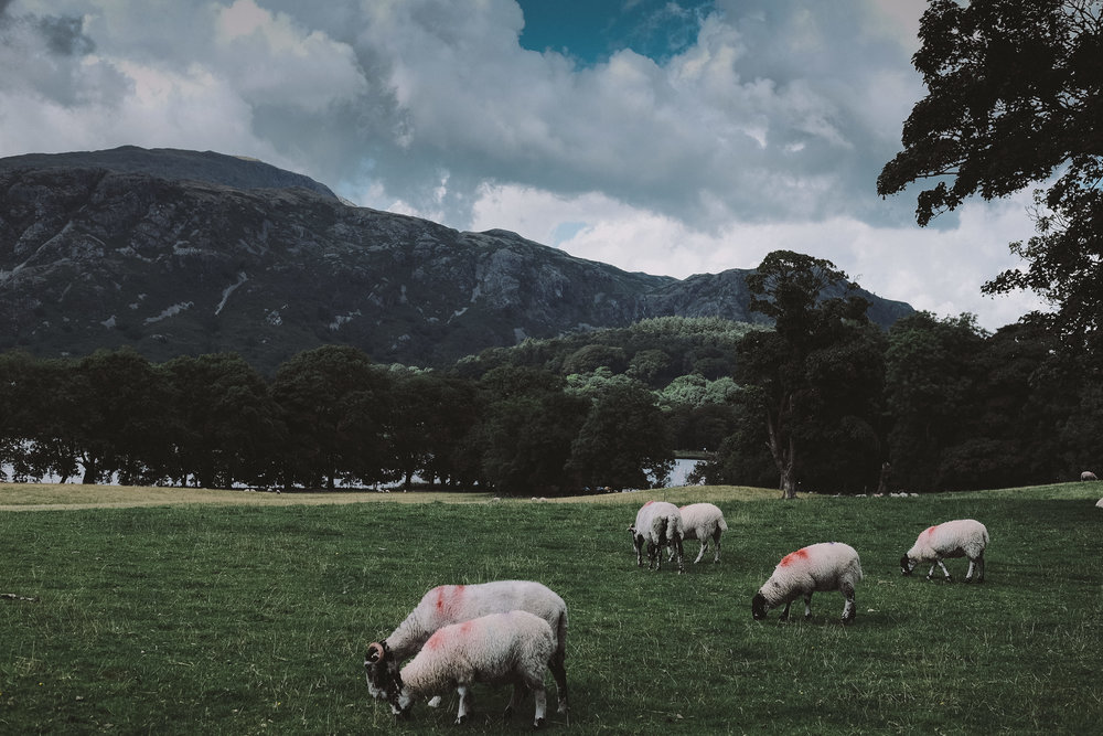 Sheep graze outside the marquee at Julia and Darren's Lake District wedding by Barry Forshaw