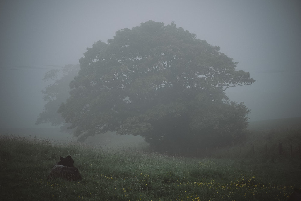 A foggy photo of a cow lying in a field with a large tree behind