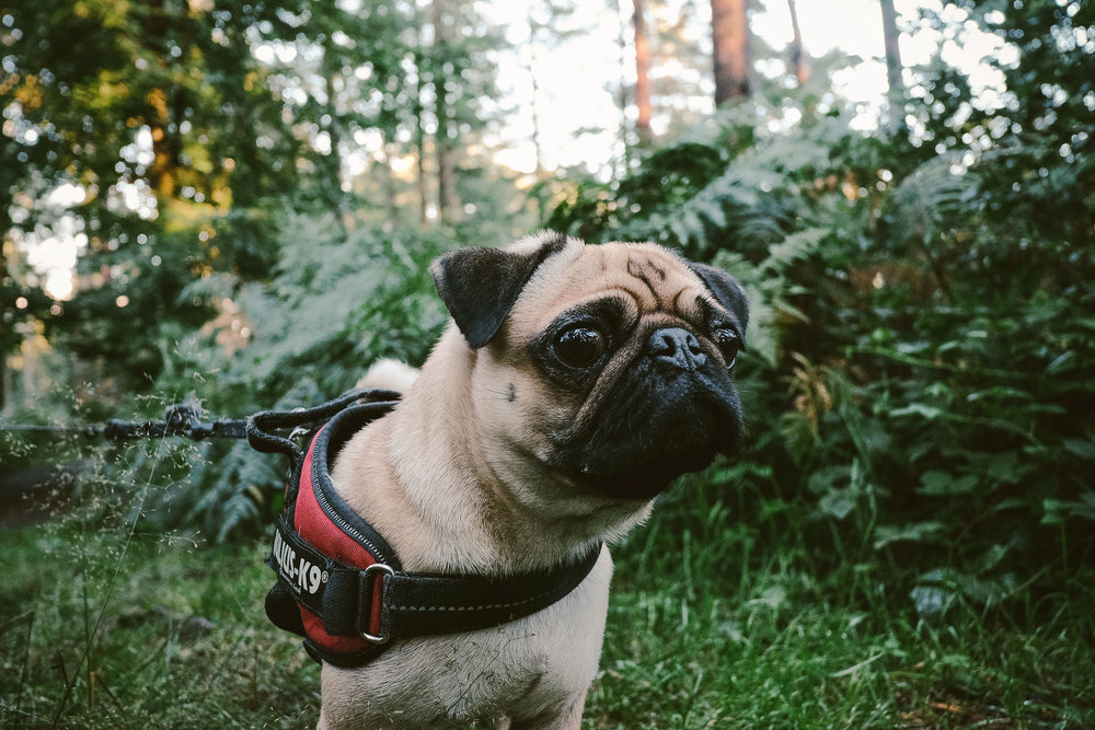 Pug with big eyes in forest