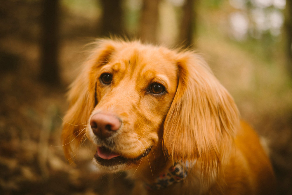 Close up of cute spaniel dog in a wood