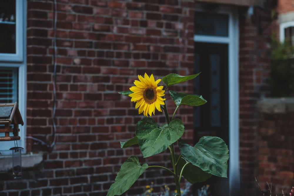 Sunflower growing outside the bride's house near Newcastle