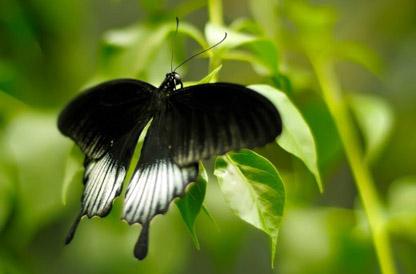 black-butterfly-640x400.jpg