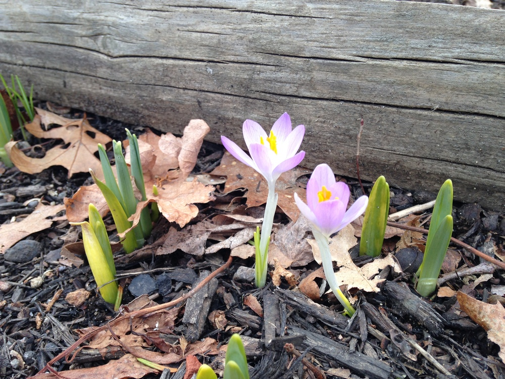 Spring crocus greeting the sun.