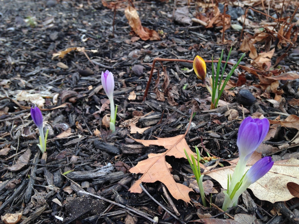 Spring crocus come in many colors.