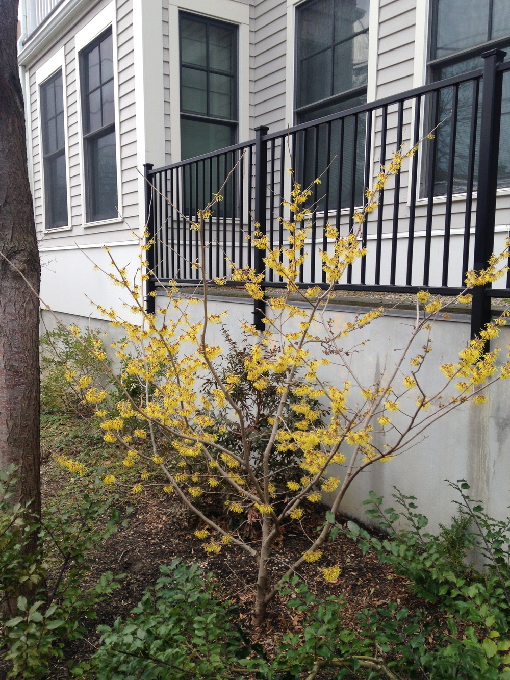 Hybrid witch hazel ( Hamamelis x intermedia ) in full bloom in Somerville, MA this week.