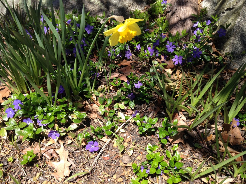 Vinca and daffodil