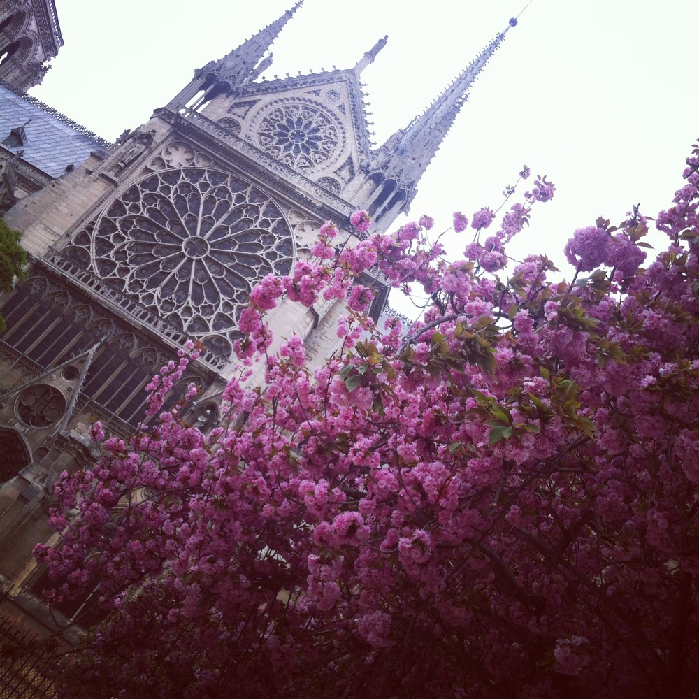 Cherry blossoms in bloom outside Notre-Dame Cathedral