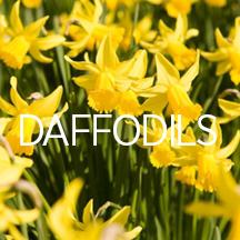 Daffodils_thingsIlov.jpg