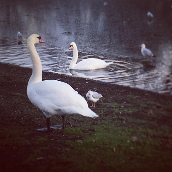 Swans in St. James Park, London (©Deborah Clague)