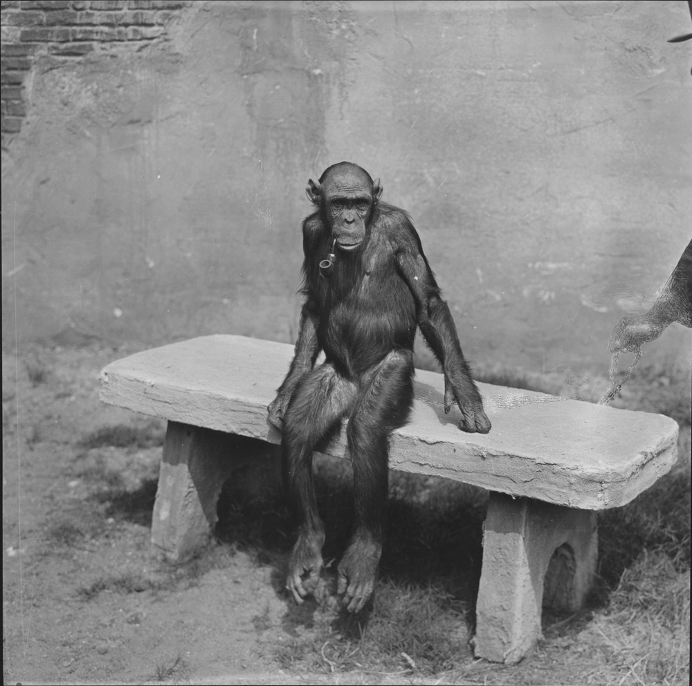chimp_bw.jpg