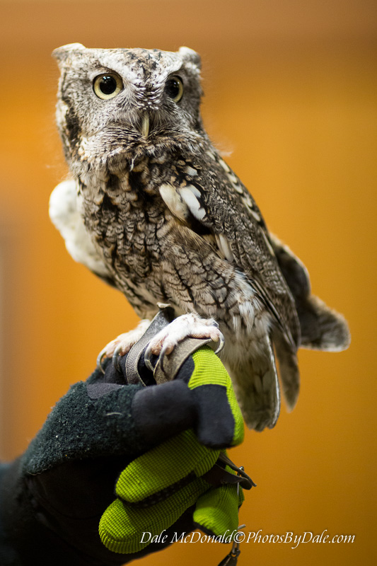 Eastern Screech-Owl (gray phase)