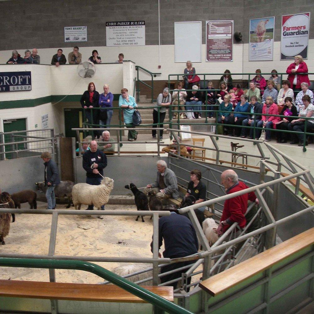 Breeder showing sheep at Woolfest
