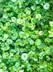 Miner's Lettuce in Upper Arroyo Seco