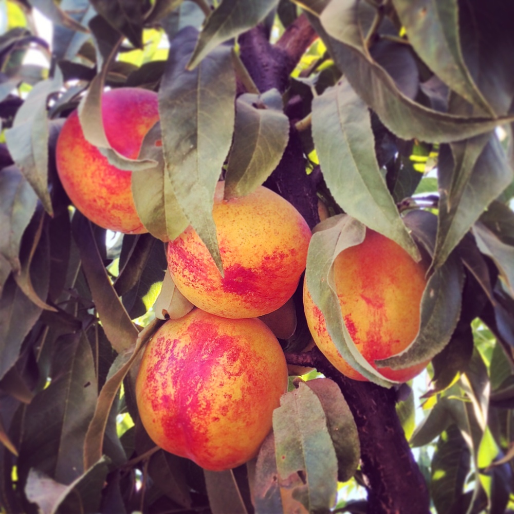 Le Grand Nectarines