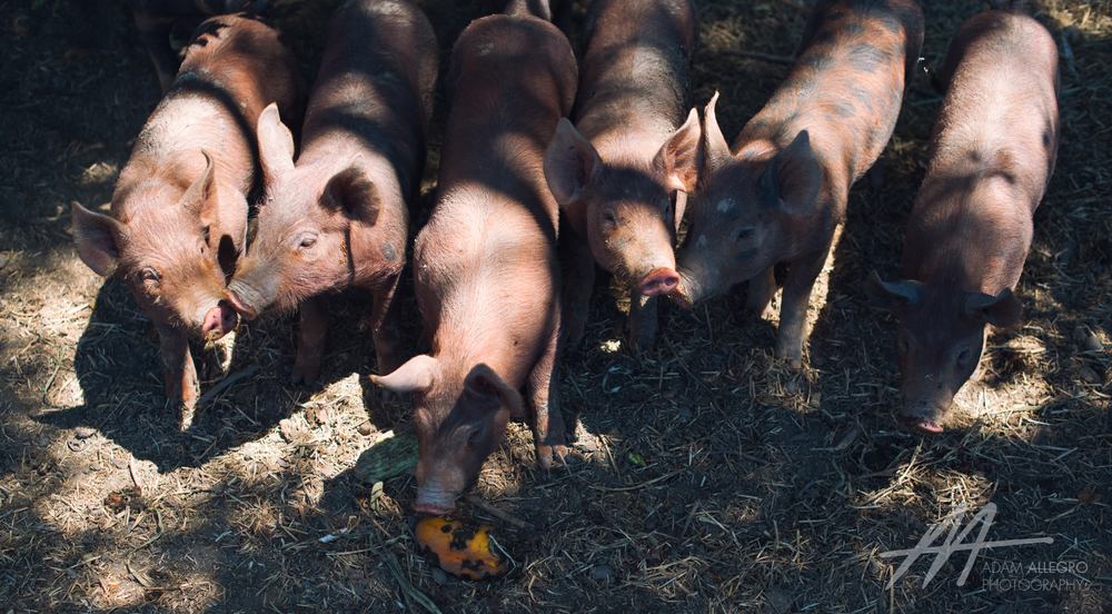 S3D4 2015 pigs eat squash.jpg